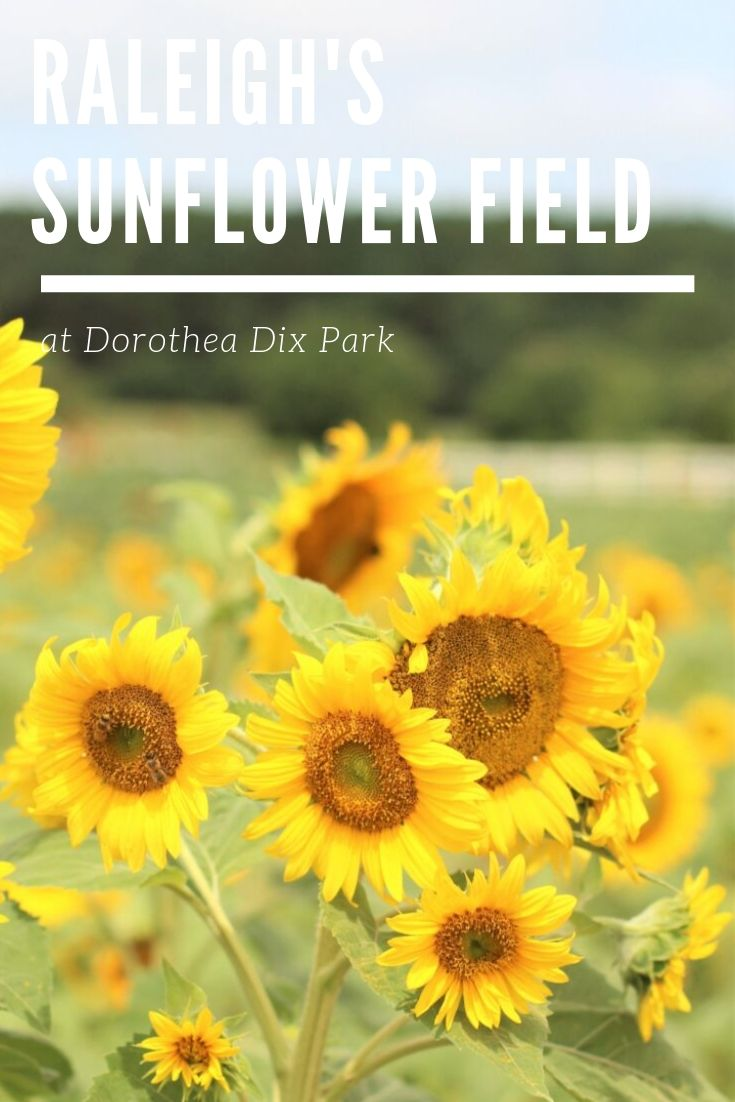 Sunflower fields are about more than pretty flowers! Discover the important role Raleigh's sunflower field plays for pollinators and parks. Plan your visit to Raleigh's sunflower park AND learn important tips for visiting any sunflower park. Bringing nature back to the city! #visitnc #sunflowerparks #dixpark