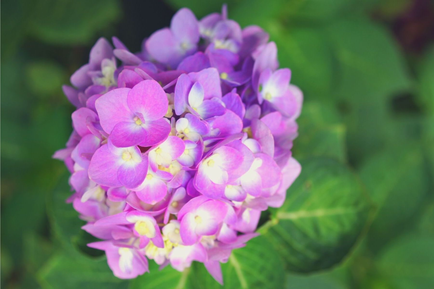 hydrangea how to reroot a plant gardening made easy