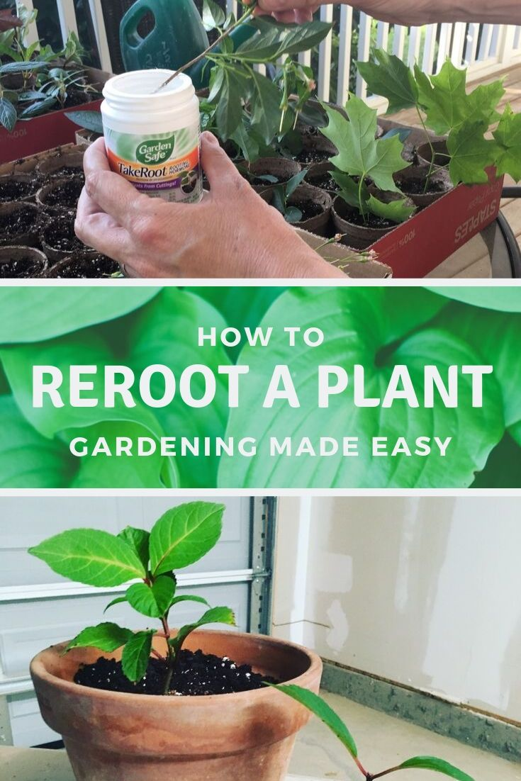 rerooting a plant with rooting hormone